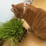 毛玉対策の猫草で… ~ Herbs for Furball