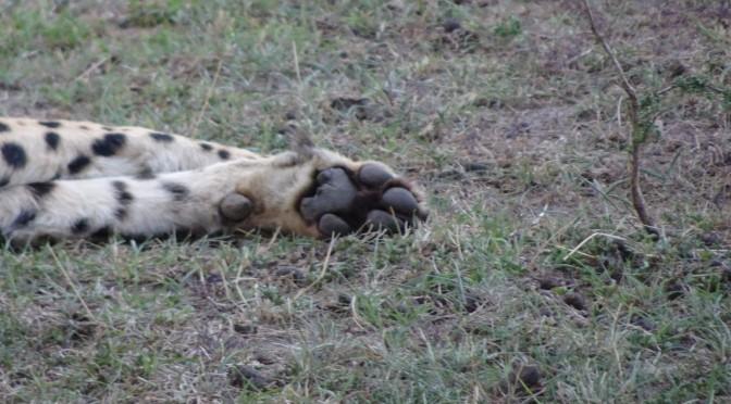 チーターさんと肉球比べ ~ Cheetah's Paw Pads
