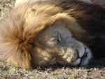ライオンさんと寝顔比べ ~ Sleeping Faces