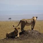 歩くリアルライオンさん ~ Lion in Kenya