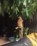 """決定的瞬間!木登りコアラ猫 ~ Climbing """"Koala Cat"""""""