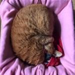 たわしにゃんこ ~ Scrubber Cat