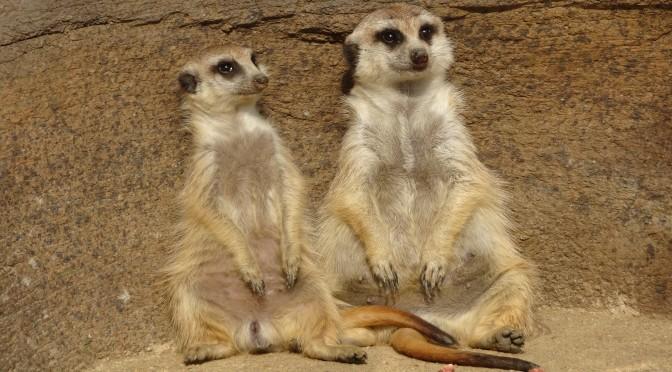ミーアキャットがかわいすぎる ~ Love Meerkat