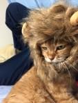 ねこらいおん ~ Lion Cat
